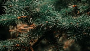 Needle Cast: A common disease in Blue Spruce