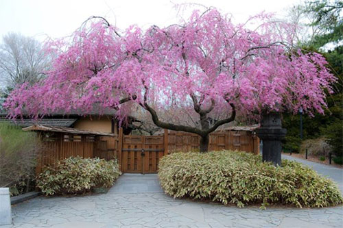pink weeping cherry tree