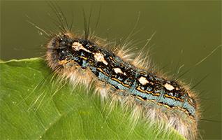 Tree Pest - Forest Tent Caterpillar