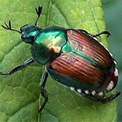 Tree Pest - Japanese Beetle