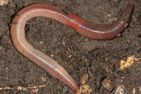 Tree Pest - Jumping Worms