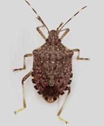 Tree Pest - Stink Bug