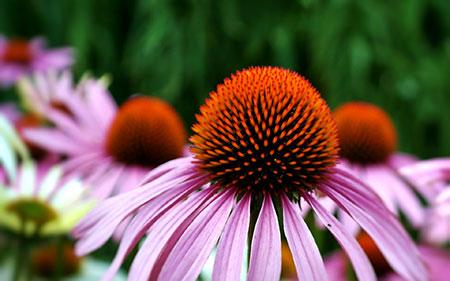 Coneflower - All Summer Blooms