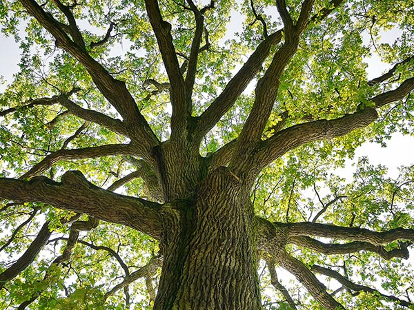 Oak Tree Crown Trimming